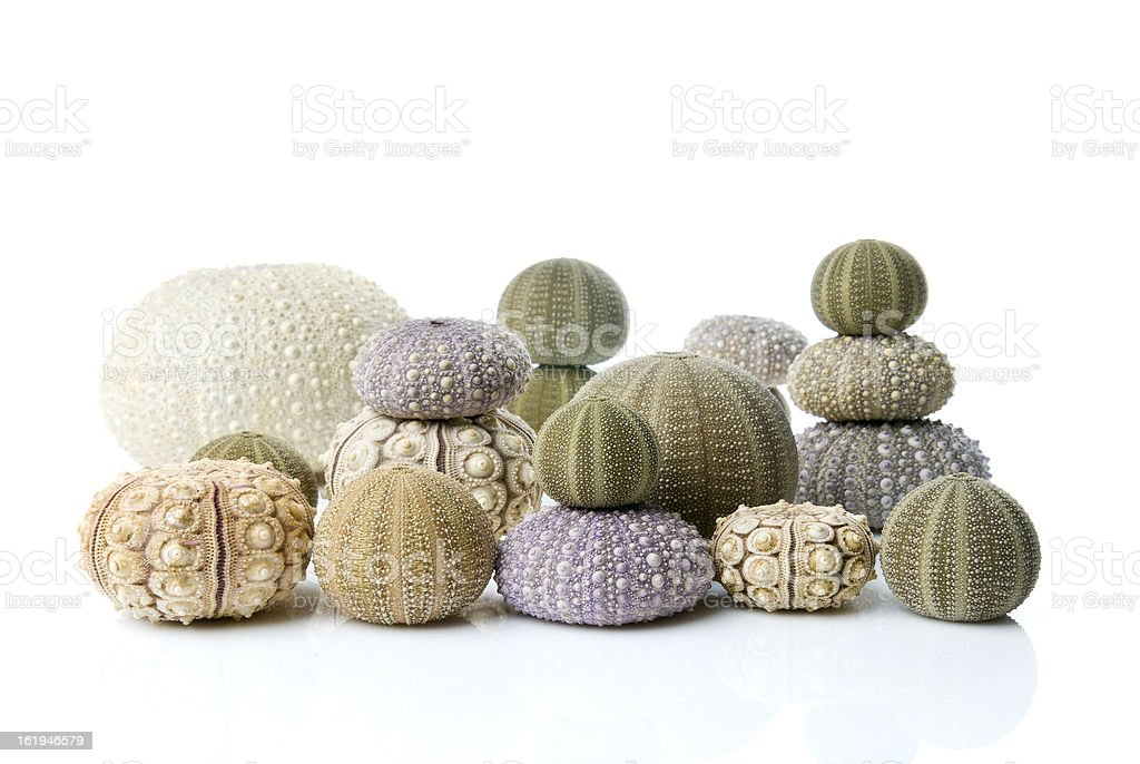 Collection of beautiful sea urchins against a white background. royalty-free stock photo