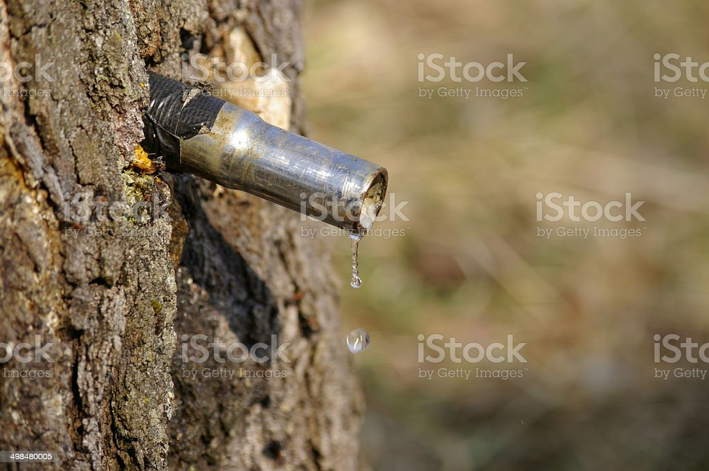 Collection of birch juice in the spring forest stock photo