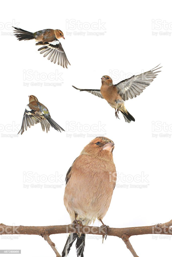 A collection of chaffinch isolated on white stock photo