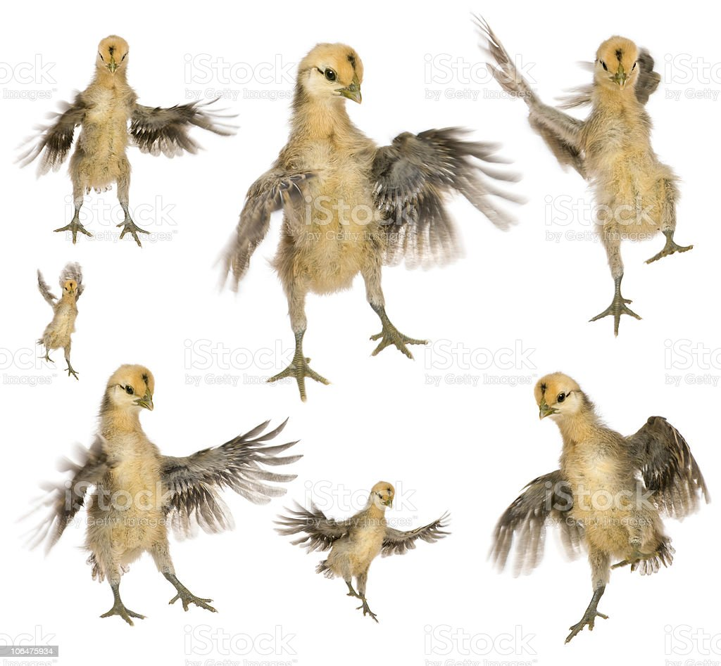 Collection of chicks trying to fly. royalty-free stock photo