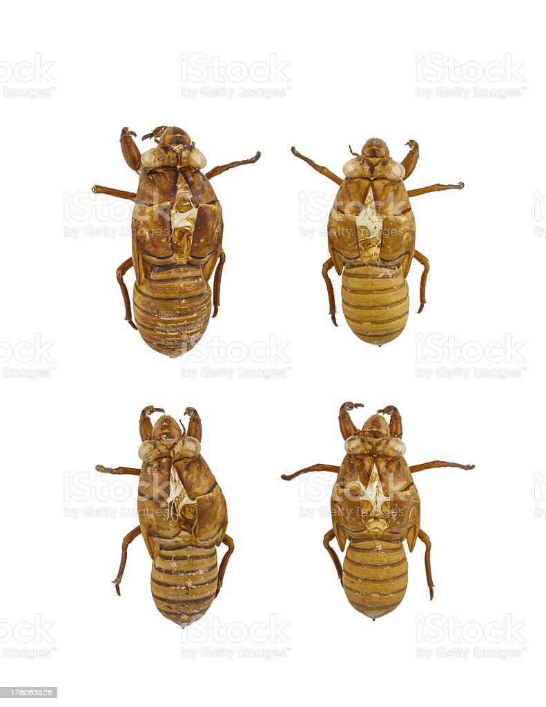 Collection of cicada royalty-free stock photo