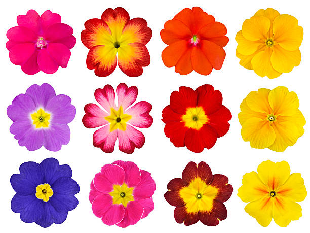 Collection of Colorful Primroses Isolated on White Collection of twelve colorful Primroses Isolated on White Background. Selection of the cute looking red, orange, yellow, pink, blue primrose flowers primula stock pictures, royalty-free photos & images