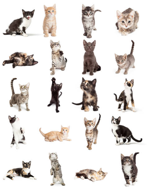 Collection of Cute Kittens Isolated on White Set of twenty cute young playful kittens on white. Sized to print on letter paper or for use on websites or social media. tortoiseshell cat stock pictures, royalty-free photos & images