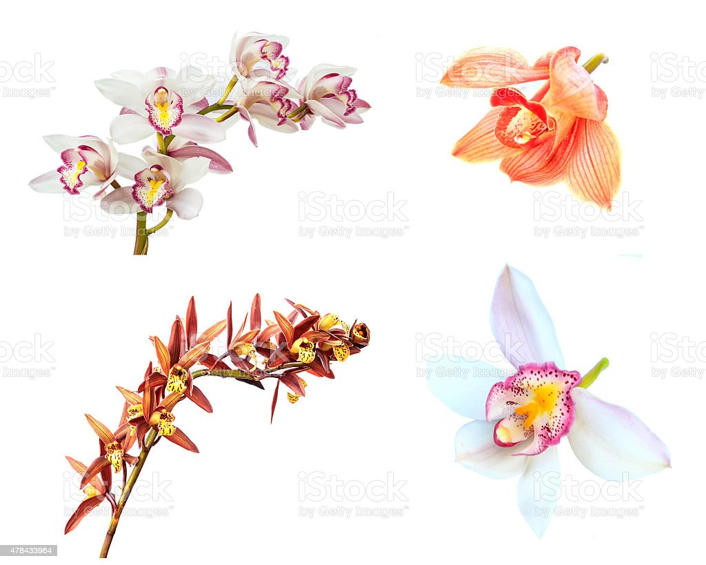 Collection of cymbidium flower orchid isolated on white background. stock photo