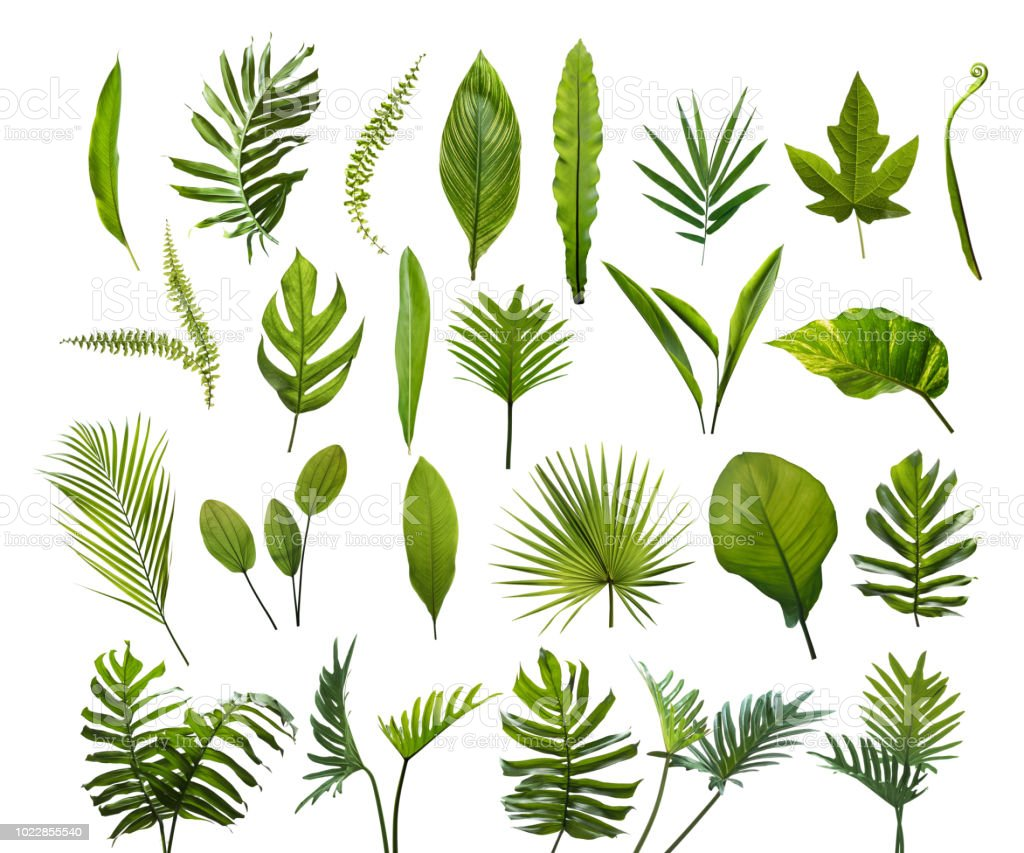 Collection Of Different Tropical Leaves Elements Set Leaf On Isolated White Background Stock Photo Download Image Now Istock On this page, pngtree offers free hd leaves decoration with tropical coconut background png images with transparent background and vector files. collection of different tropical leaves elements set leaf on isolated white background stock photo download image now istock