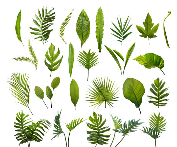 collection of different tropical leaves. elements set leaf on isolated white background - lush foliage stock pictures, royalty-free photos & images
