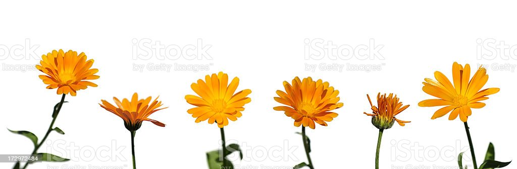 Collection of flowers (Calendula officinalis) withone withered in the row. royalty-free stock photo