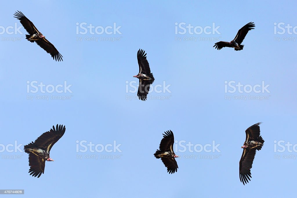 Collection of flying nubian vultures stock photo