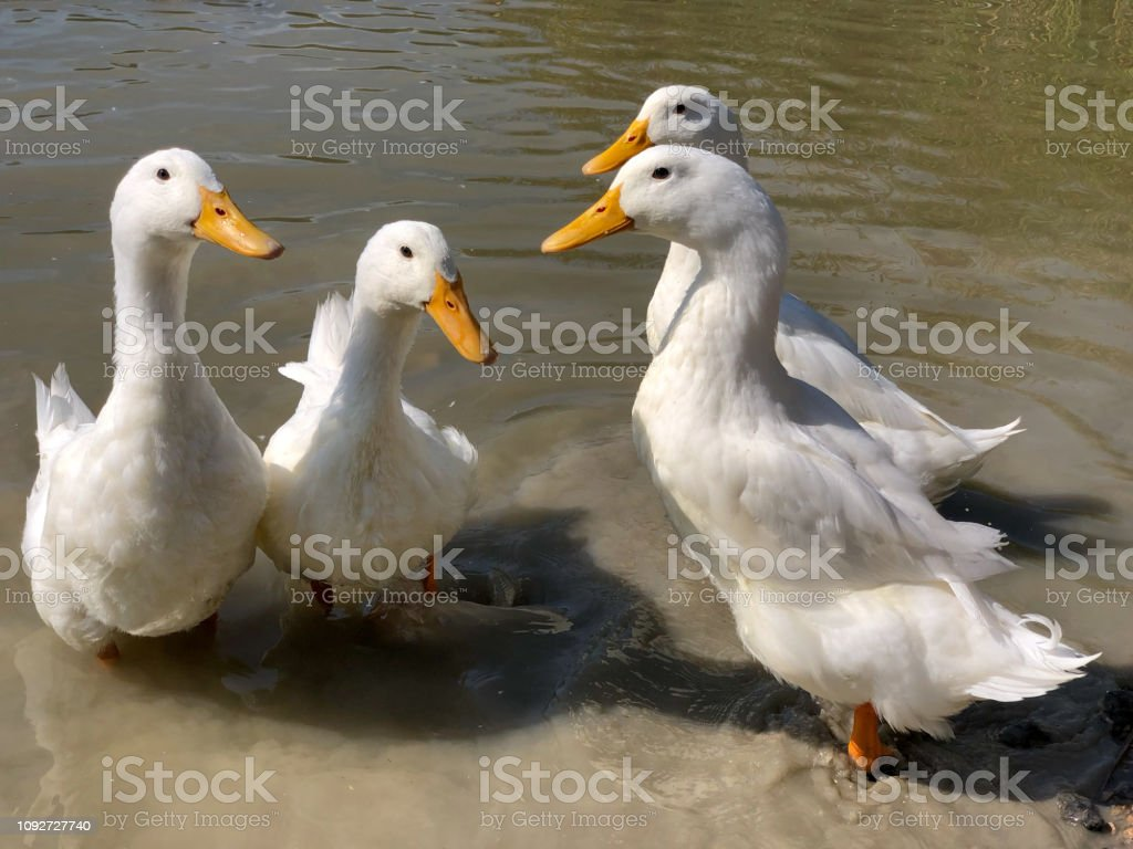 Collection of four heavy white Aylesbury Ducks stock photo
