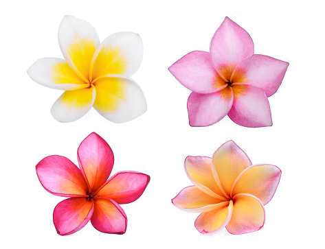 collection of frangipani (plumeria) flower isolated on white background, tropical flower