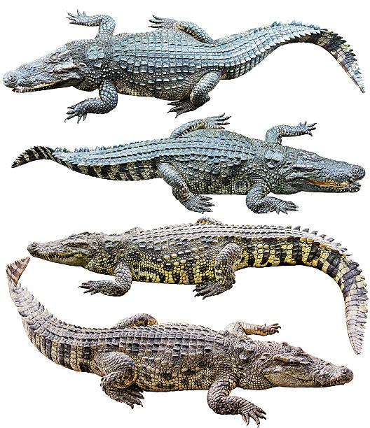 Collection of freshwater crocodile isolated on white stock photo