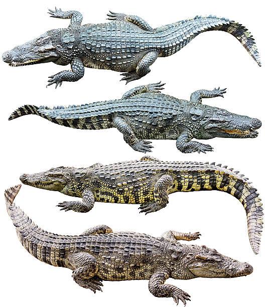 Collection de crocodile d'eau douce isolé sur blanc - Photo