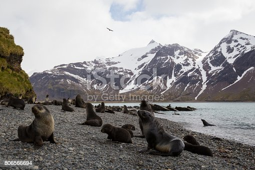 Seals on a rocky beach with snow capped mountains in the background