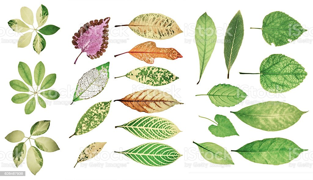 Collection of garden green leaves on white background. Soft colo stock photo