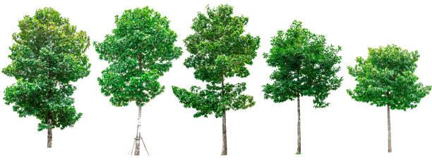 collection d'arbres verts isolé sur fond blanc pour une utilisation dans la conception architecturale ou travaux de décoration. - arbre à feuilles caduques photos et images de collection