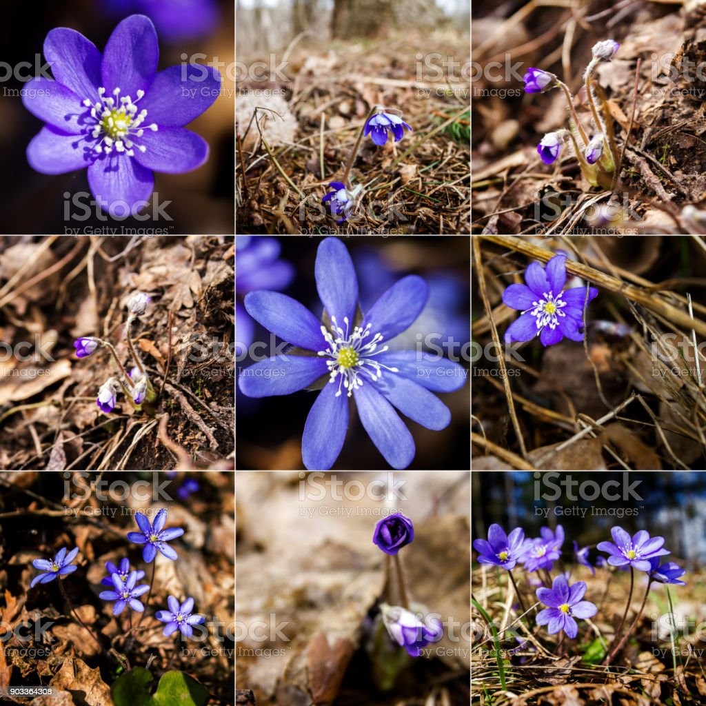 Collection of images with first fresh blue violet in the forest stock photo