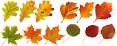Collection of isolated autumn leaves: oak, maple, hawthorn, aspen.