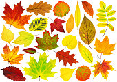 Collection of isolated autumn leaves