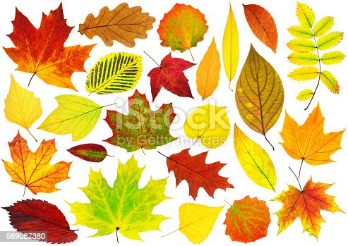 Collection Of Isolated Autumn Leaves stock photo 589087380 ...