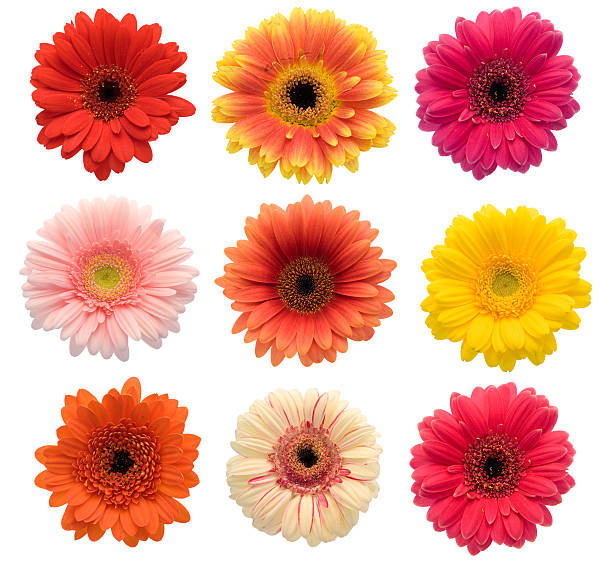 Collection of isolated Gerberas (XXL) stock photo