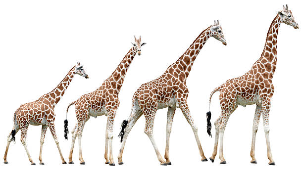 collection of isolated giraffes in various poses - giraffe stock photos and pictures