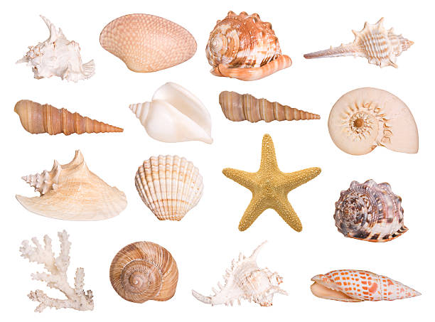 Collection of isolated seashells Large selection of isolated seashells and a starfish. Montage.  starfish stock pictures, royalty-free photos & images