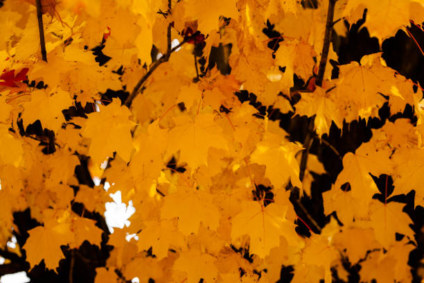 Collection of Maple Leaves on the Tree stock photo