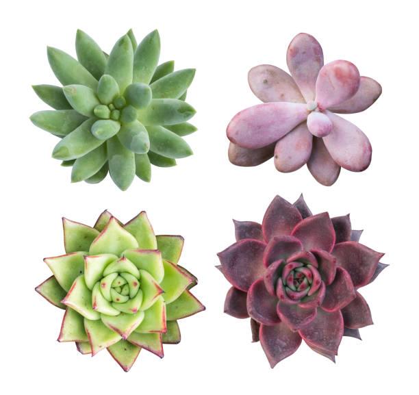 sammlung von miniatur sukkulenten pflanzen isoliert - dachwurz stock-fotos und bilder