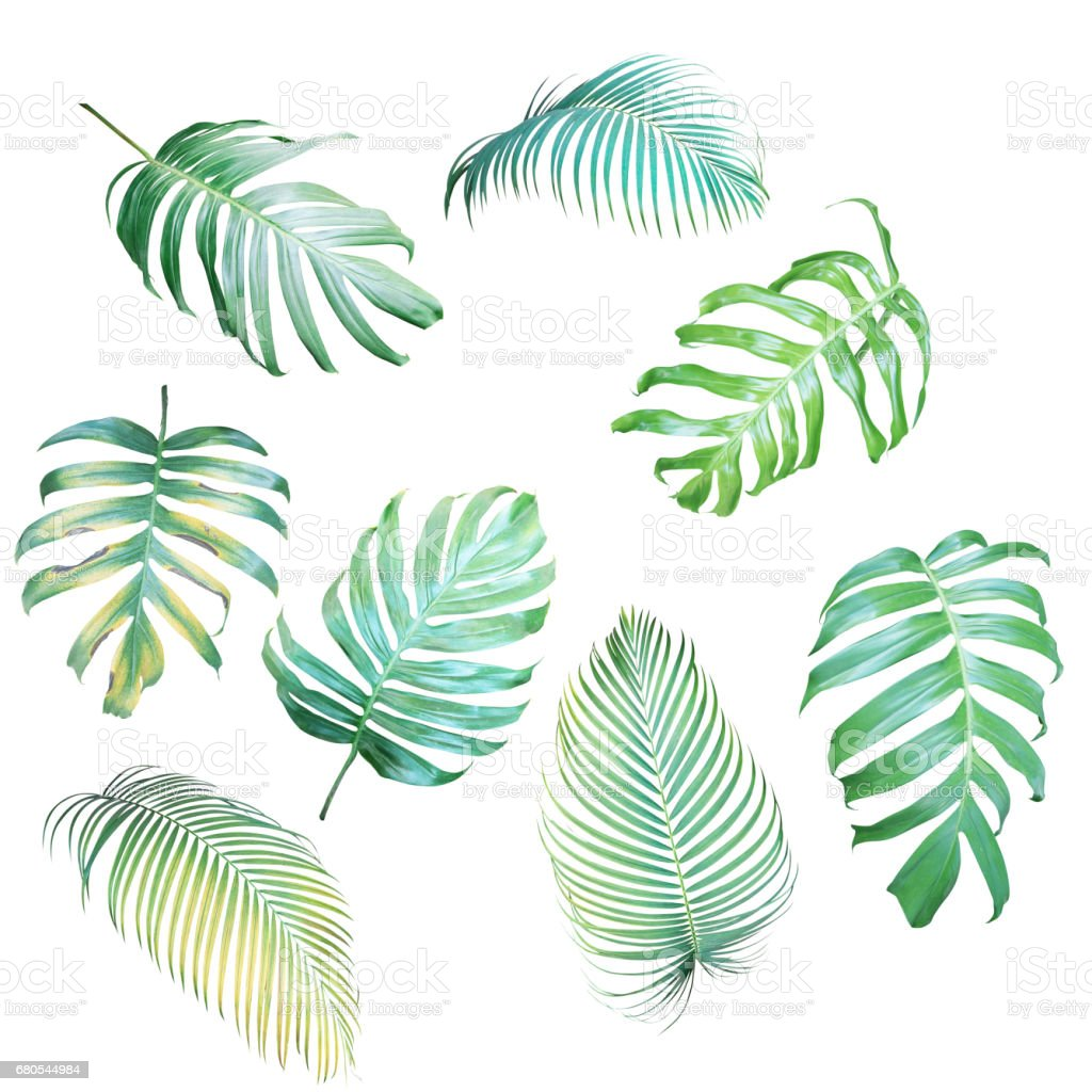 Collection of Palm leaves and Monstera philodendron in light green-yellow color tone, tropical leaves isolated on white background. stock photo