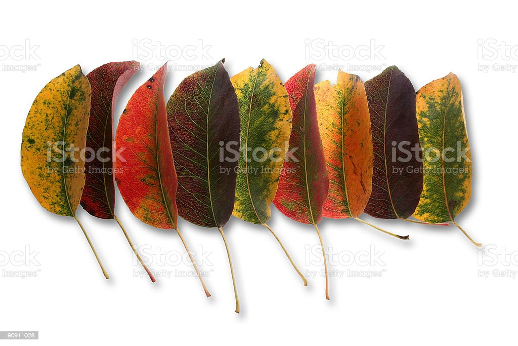 Collection of perfect autumnal leaf stock photo