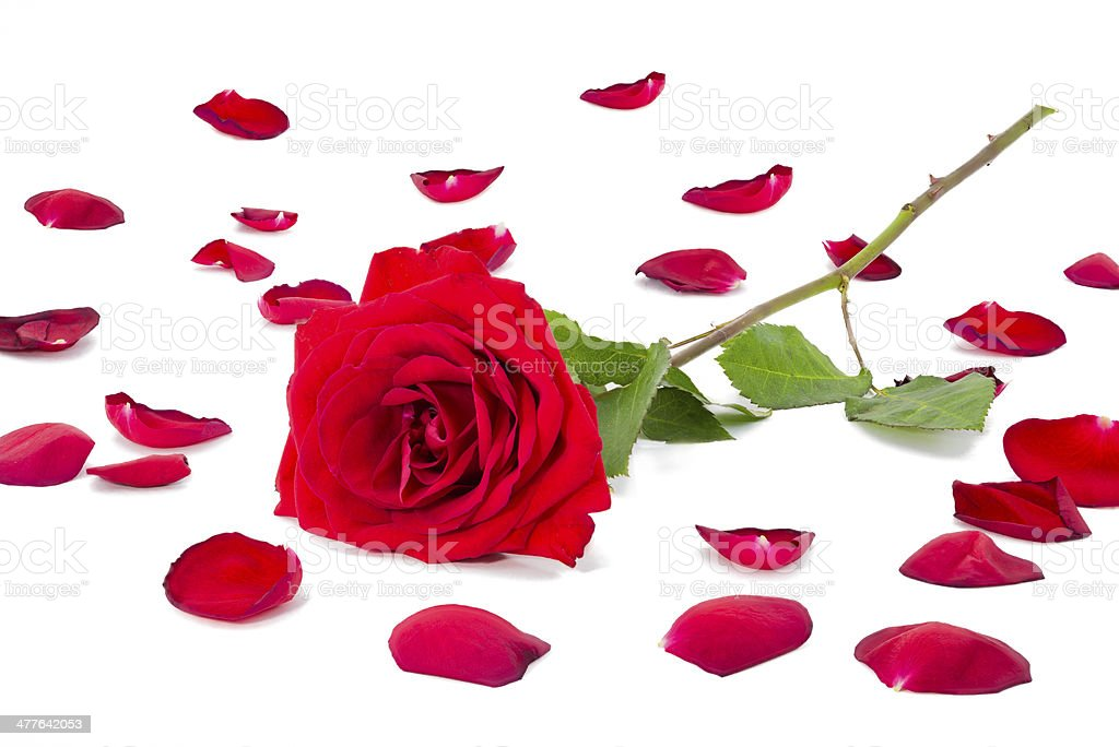 Collection of  petals with a red rose on top royalty-free stock photo