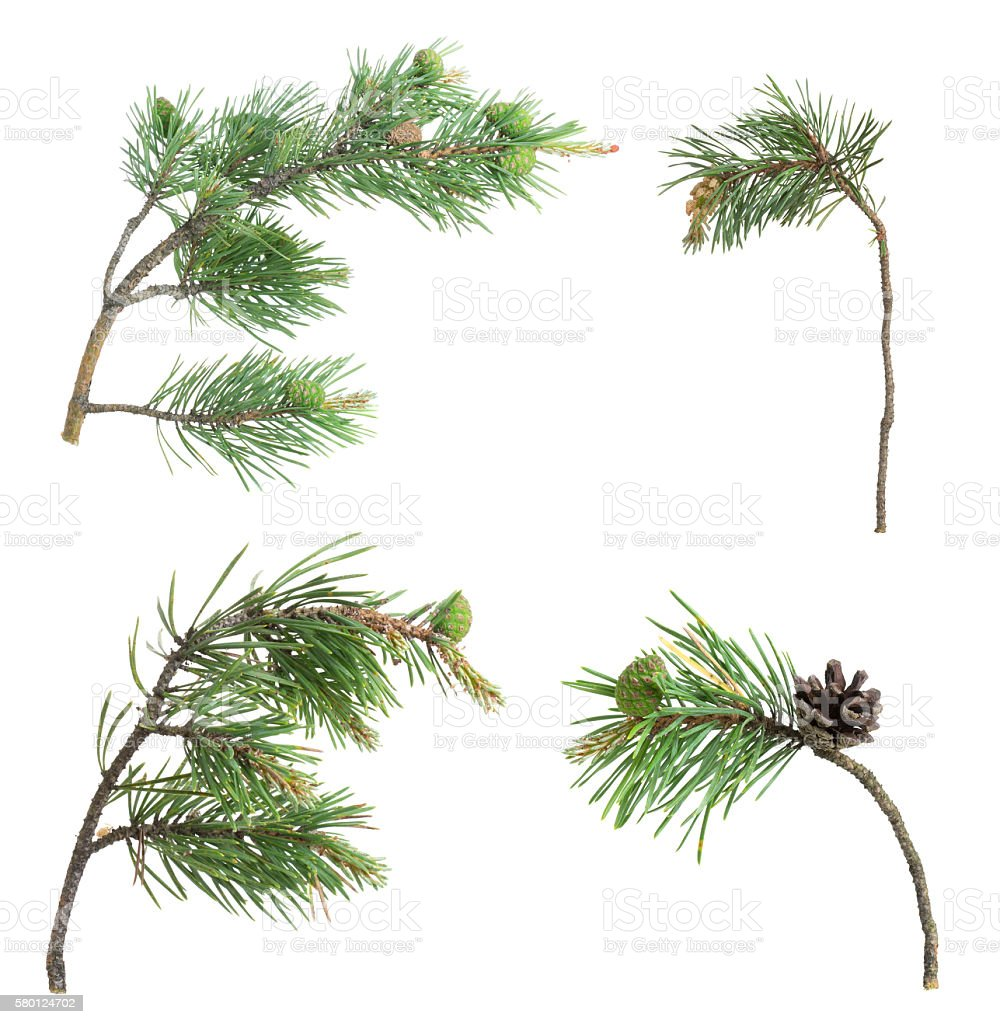 Collection of pine twigs isolated on white background stock photo