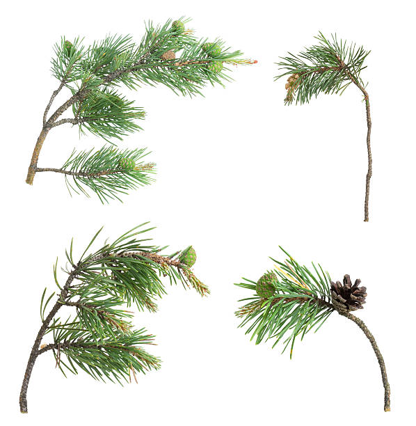Collection of pine twigs isolated on white background​​​ foto