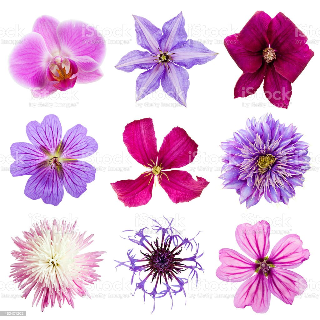 Collection of pink and purple flower heads isolated stock photo