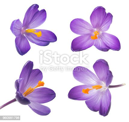 Collection of saffron flowers. Beautiful crocus on white background - fresh spring flowers