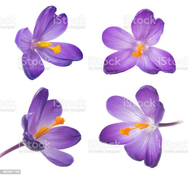 Collection of saffron flowers beautiful crocus on white background picture id960981798?b=1&k=6&m=960981798&s=612x612&h=grmq zqubjm9cemffh j4bjqwymnqaipai0n12gng y=