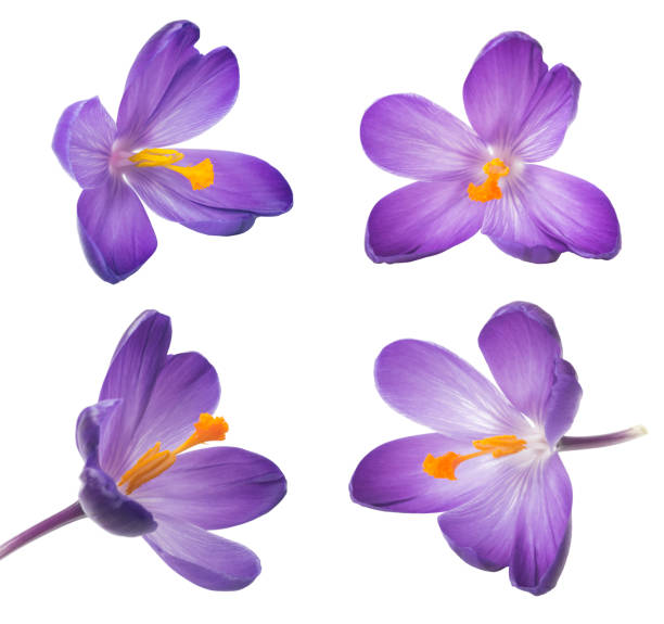 8cd8b8598753d Collection of saffron flowers. Beautiful crocus on white background - fresh  spring flowers stock photo