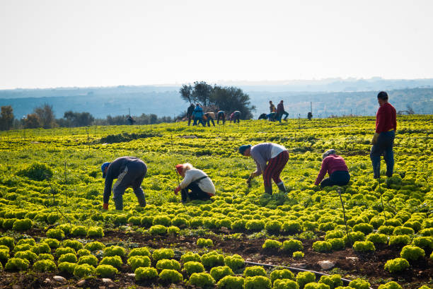 Collection of salad with curly leaf. Conversano,Italy-24/november/2017; Group of farmers a sunny morning of autumn in the territory of Conversano gathering the green salad plants. farm worker stock pictures, royalty-free photos & images