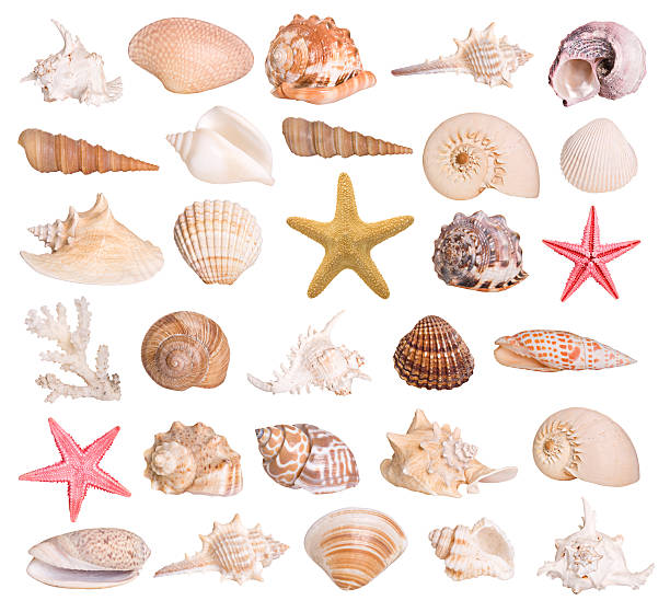 Collection of seashells Large selection of isolated seashells and a starfish. Montage.  starfish stock pictures, royalty-free photos & images