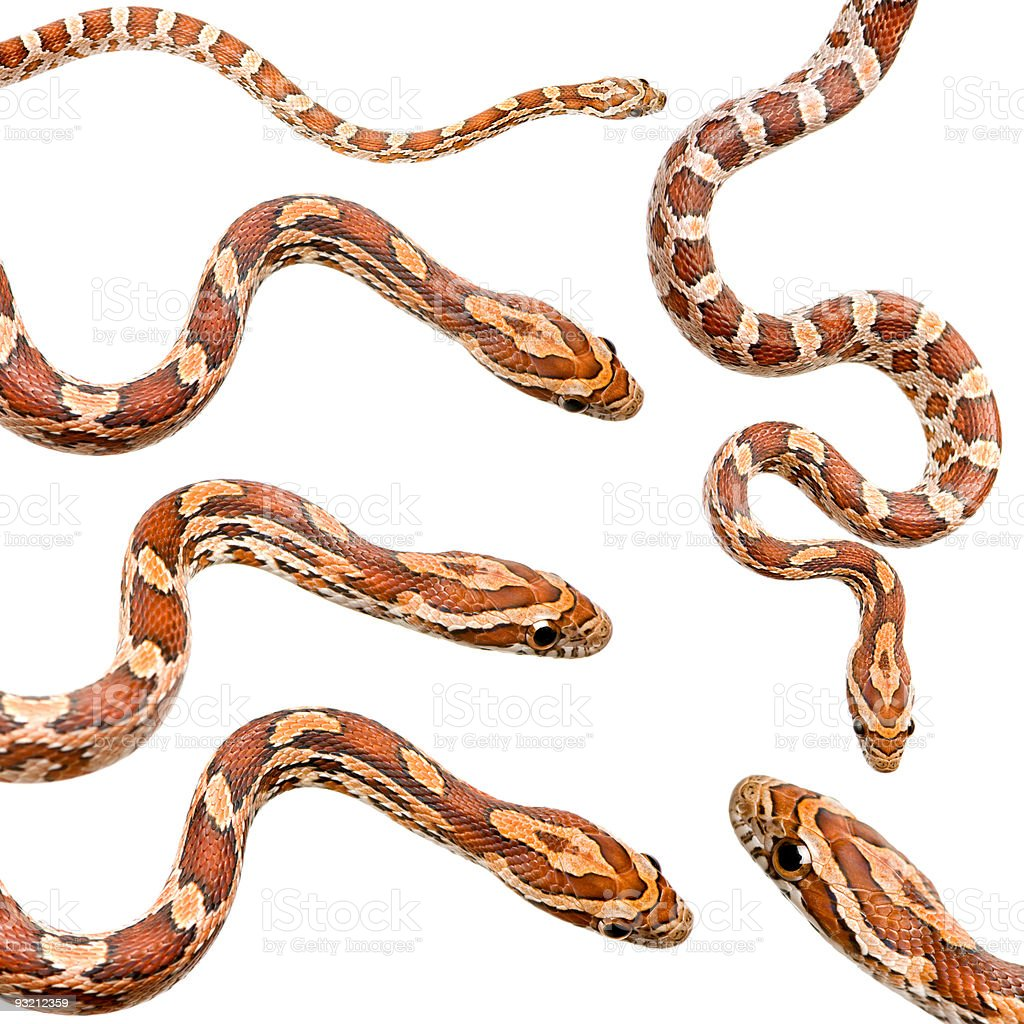collection of six Corn Snake royalty-free stock photo