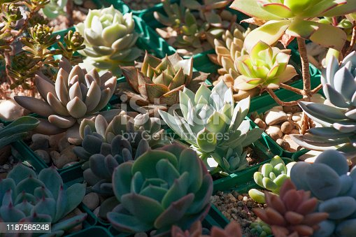 Collection of succulents, echeverias, sedums and other houseplants