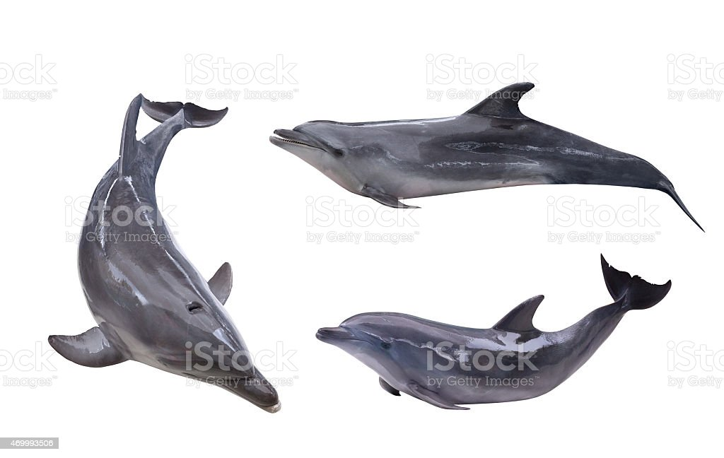 collection of three isolated grey dolphins stock photo