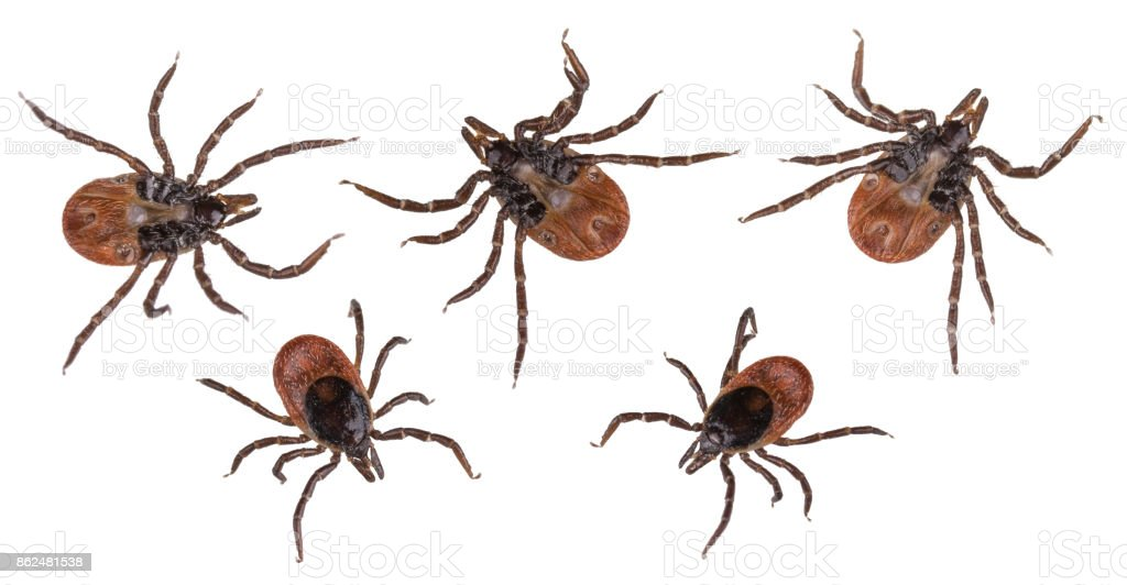 Collection of ticks from the bottom and from above isolated on white background. Ixodes ricinus stock photo