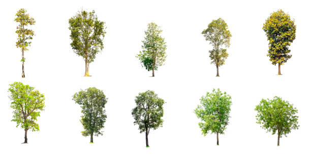 Collection of trees isolated picture id1087689596?b=1&k=6&m=1087689596&s=612x612&w=0&h=g1ai11vabz9lbr59k6g4vjxmljnsg b94ytvek1vrws=