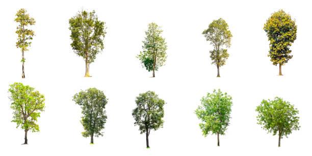 colección de árboles aislados - árbol fotografías e imágenes de stock