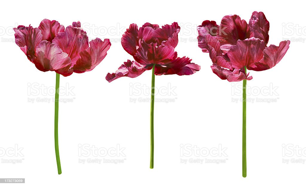 Collection of tulips isolated on white background. royalty-free stock photo
