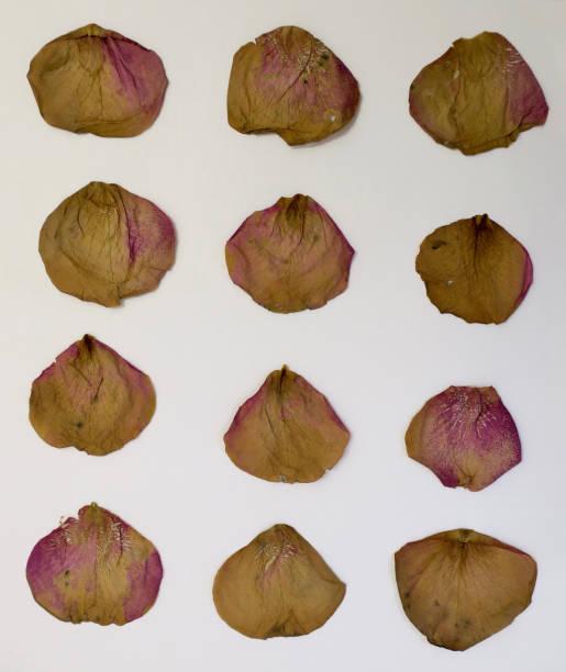 inzameling van twaalf droge roze roze bloemblaadjes in een rij foto