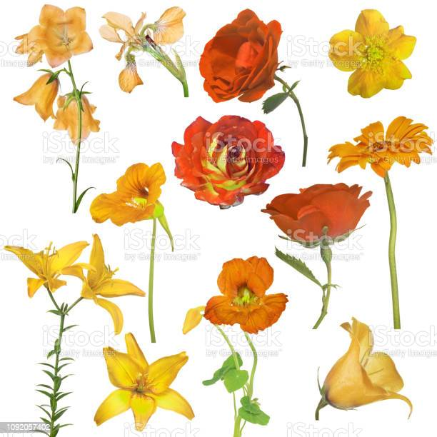 Collection of twelve yellow and orange flowers isolated on white picture id1092057402?b=1&k=6&m=1092057402&s=612x612&h=icdpxanjjmrle2yr0n2d2yiiuc7keng4ahjrwubqox0=