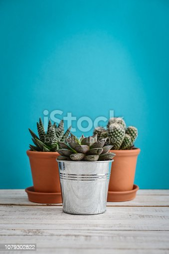 Collection of various cactus and succulent plants in different pots. Potted cactus house plants on blue background
