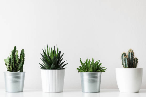 Collection of various cactus and succulent plants in different pots. Potted cactus house plants on white shelf against white wall. stock photo